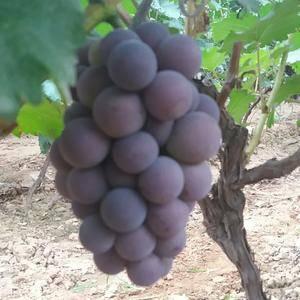 大量批发京亚葡萄  巨峰葡萄