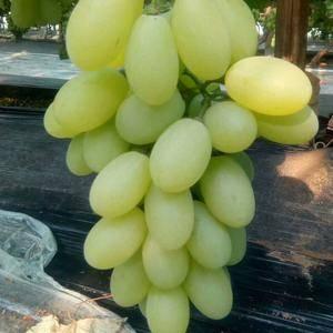 本村种植葡萄2万多亩有京亚葡萄维多利亚有葡萄藤忍葡萄巨峰...