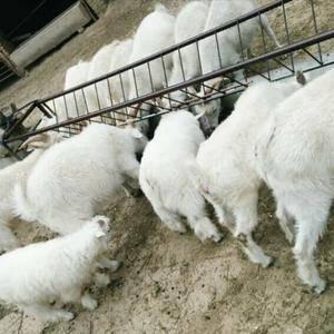 我处现有500余只散养的山羊,都是农户家养的,主要使用苜...