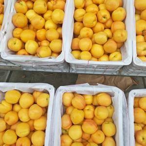 黄油桃山东那个地方还有货?