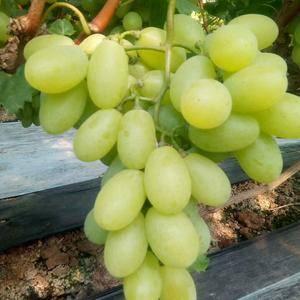 我村种植京亚葡萄,2万多亩,陆地葡萄以上市,今年京亚葡萄...
