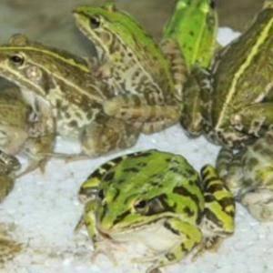 出售人工养殖黑斑蛙,品质优秀。需要的电联15072325...