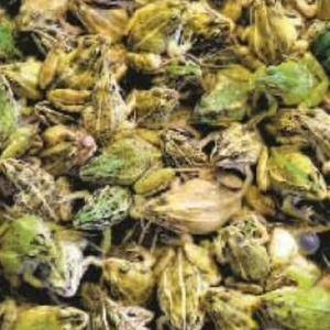 蛙易养殖社出售健康商品蛙,另提供蛙苗和养殖技术(包含养殖...