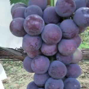 陕西葡萄户太八号葡萄,户太王葡萄,夏黑葡萄,红提葡萄,产...