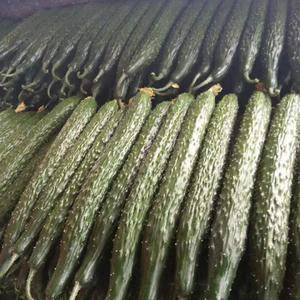 大量供应黄瓜