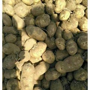商品薯4两起步,无刀伤,无虫咬,定粉含量高