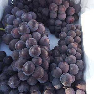 河北省周头万亩葡萄现已大量上市。果品站在村里最集中的葡萄...