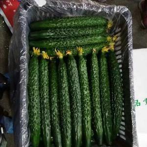 大量黄瓜(青瓜)上市,需要的联系15954942678