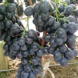 一村一品大棚玫瑰香葡萄现以大量供应上市颗粒饱满 颜色鲜艳...