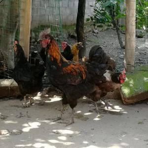 凉山岩鹰鸡,纯粮食散养,六个月以上