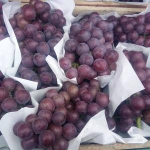 邯郸市富安葡萄基地藤稔葡萄已大批量成熟上市,果粒大、色泽...