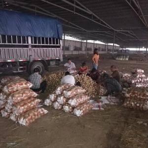 河北秦皇岛昌黎土豆大量供应,荷兰,中暑,手机152323...