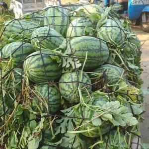河南夏邑西瓜现在开始大量上市了,西瓜个大,颜色鲜艳,口感...