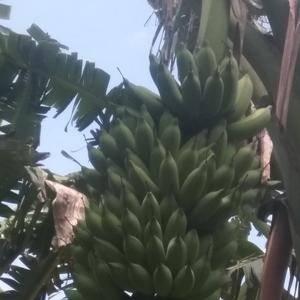 请问谁知道武鸣哪里有芭蕉