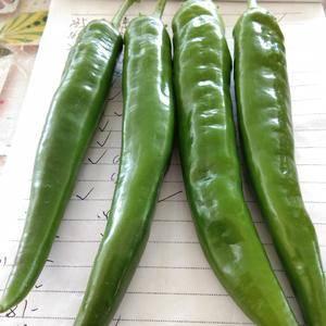 羊角椒(七寸红),中辣,青色表面光滑,色泽好看,果长10...
