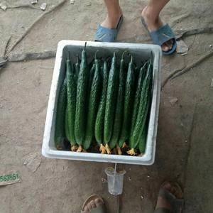 大量供应大棚优质黄瓜
