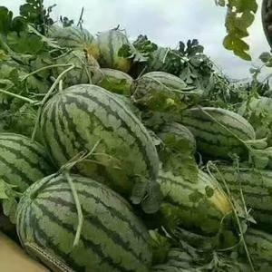 专业代办河南各种西瓜开封万亩西瓜基地每年6月份后陆续上市...