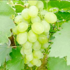 葡萄大量上市,欢迎老板们前来收购