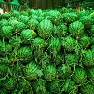 河南夏邑冠龙大量上市,直生苗,沙地瓜皮毛好,吃口好