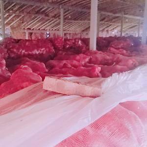 大量出售二红,紫皮洋葱,品质优,价格美丽,有意者联系李先...