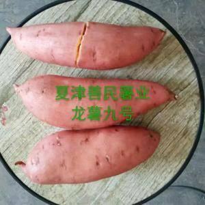 山东夏津善民薯业大量供应优质商品龙薯九号红薯,本基地龙九...