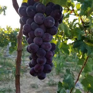 陕西大荔夏黑葡萄,户太八号葡萄,青提葡萄,红提葡萄大量上...