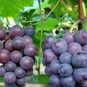 巨峰葡萄,口感好,颗粒大,千亩葡萄园,量大从优,1381...