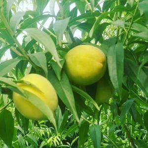 黄桃  罐头果,大量供应
