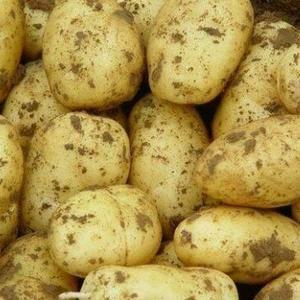 荷兰806土豆,薯型椭圆芽眼浅颜色亮泽干净,质优价廉。
