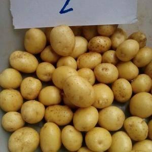 河北围场小土豆,黄皮黄心、白皮白心、红皮黄心。品种齐全,...