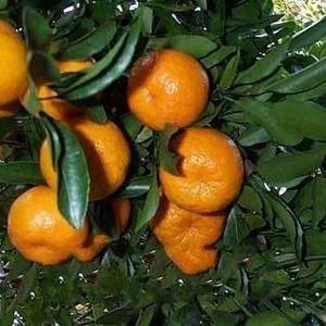 宜昌蜜桔 指产于宜昌市境内,按照特定的技术规程进行生产...