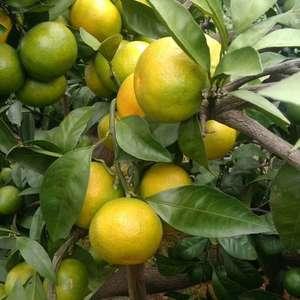 湖北特早蜜橘/宜昌桔子/三峡蜜桔产地大量上市。