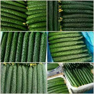 我处大面积夏季露地黄瓜上市了,欢迎各地客商垂询。