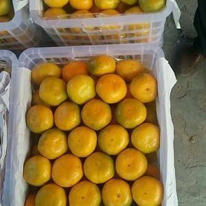 宜昌特早蜜橘早熟蜜橘现已大量供货中
