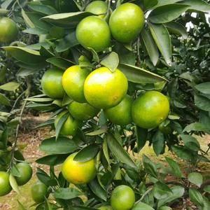 蜜橘出售,产地直销果园看货现场采摘,欢迎订购139976...