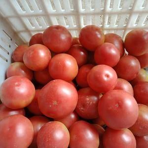 硬粉大棚西红柿弘二起