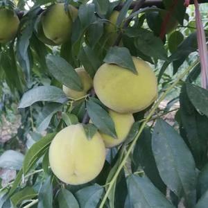 做罐头黄桃大量供应,有要的联系我,15053050889