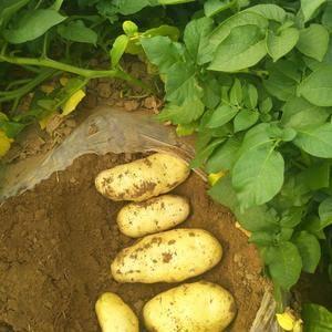我处长期供应荷兰十五土豆,有温室棚土豆,露天土豆,冷库库...