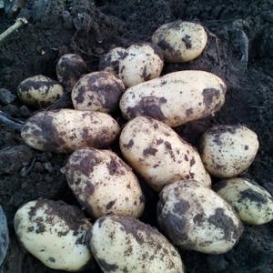 批发代办河北围场和周边内蒙白心土豆张薯226,沙土地种植...