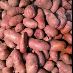 红皮黄心土豆荷兰十四,皮色干净亮泽薯型椭圆好看,无腐烂无...