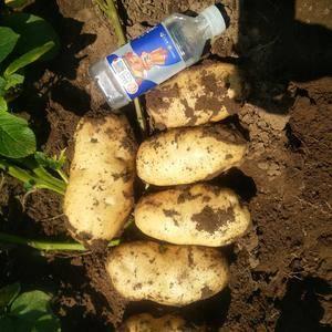 围场,赤峰,新土豆大量上市,价格随行情,包装随便选择,交...
