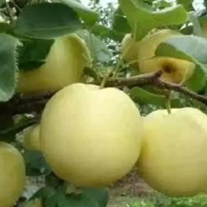 山东纸加膜黄金梨大量供应,口感好价格便宜个头大17568...