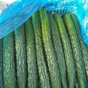 大棚黄瓜陆续上市,价格走低。
