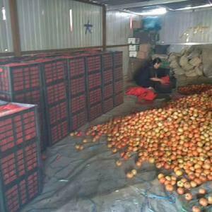 大红西红柿大量上市,欢迎新老客户来收购。15930316...