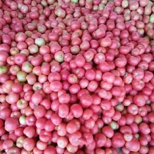 潍坊安丘硬粉西红柿万亩上市中欢迎各位老板前来订购