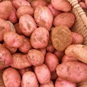 青薯9号土豆大量上市,果形好,颜色好,无烂头烂果,3两以...