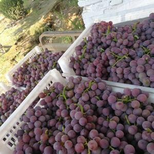 鲁西第一葡萄基地,万亩巨峰葡萄大面积上市中,紧邻309国...