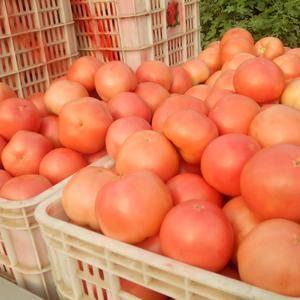 大量供应西红柿硬粉西红柿