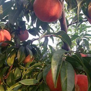 肥城最大最甜最好吃的莱山蜜桃现已陆续上市,欢迎广大客商抓...