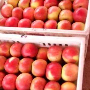 产地随季节供应嘎啦苹果,美八苹果,金帅苹果。红星苹果,红...